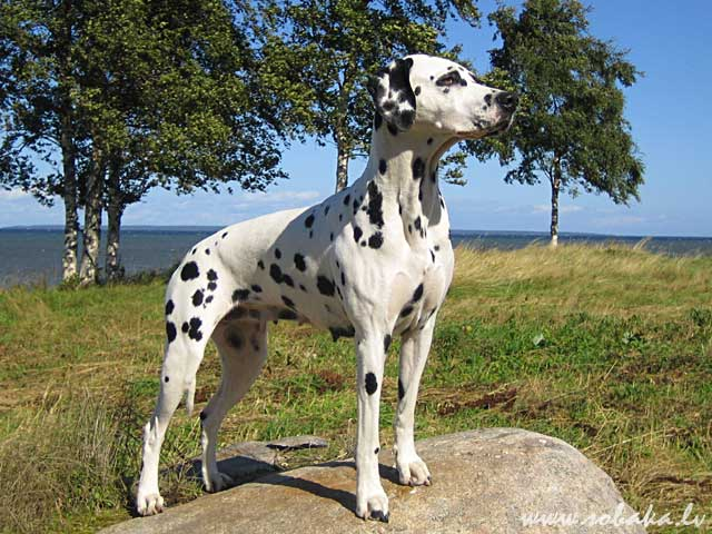 Dalmatian 