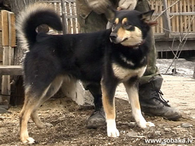 East-Siberian Husky 
