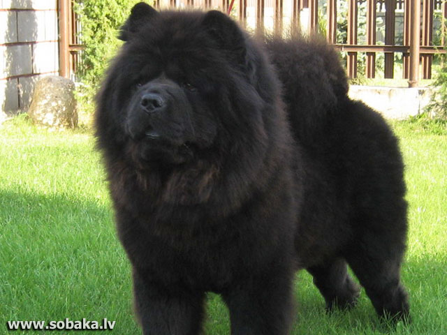 Chow Chow 