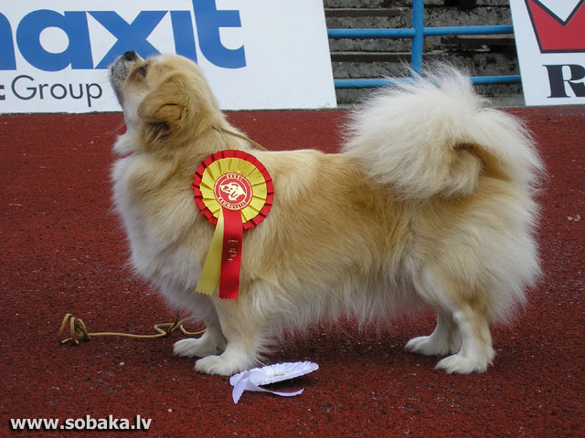 Tibetan Spaniel 