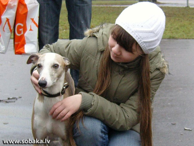 Whippet 