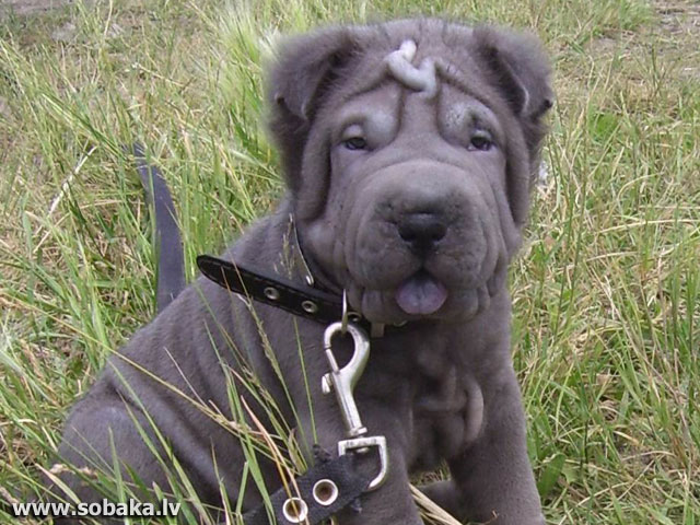 Shar Pei 