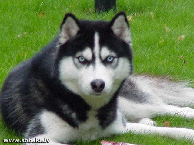 http://eng.sobaka.lv/img/K0801/Small/208-0719-5917-K-Husk.jpg