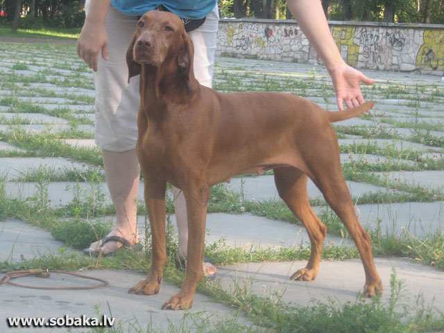 Hungarian Short-haired Pointing Dog Alima Anet Peppito