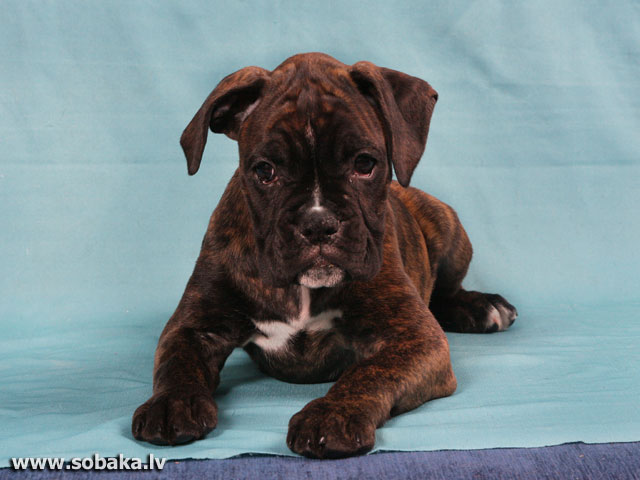 German Boxer 