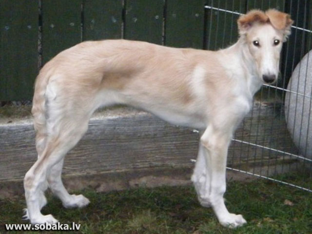Russian hunting sighthound 