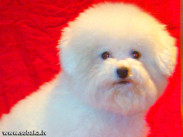 Bichon Frise 