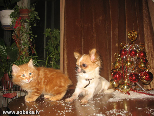 С 2-мес. котенком кур. бобтейла. 