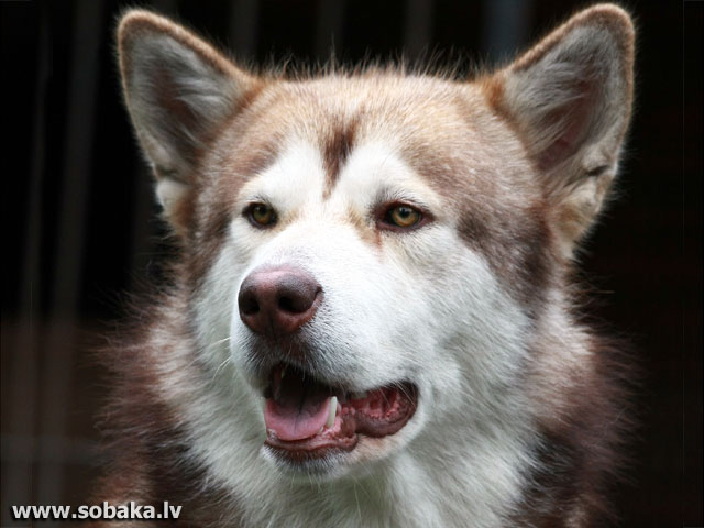 Alaskan Malamute 