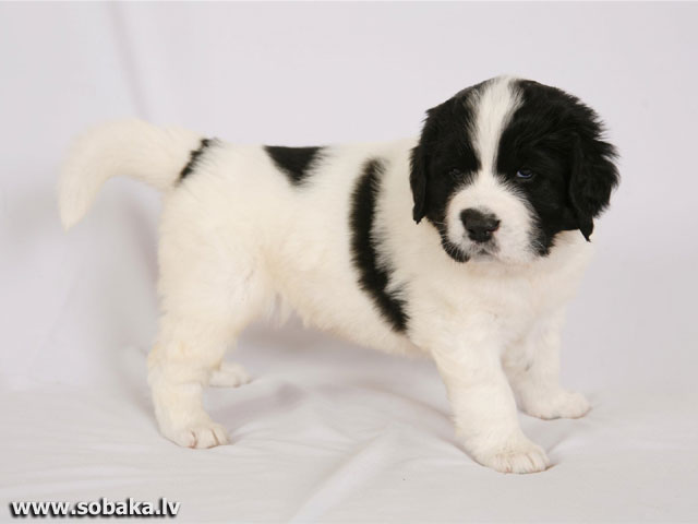 Landseer (Continental-European type)