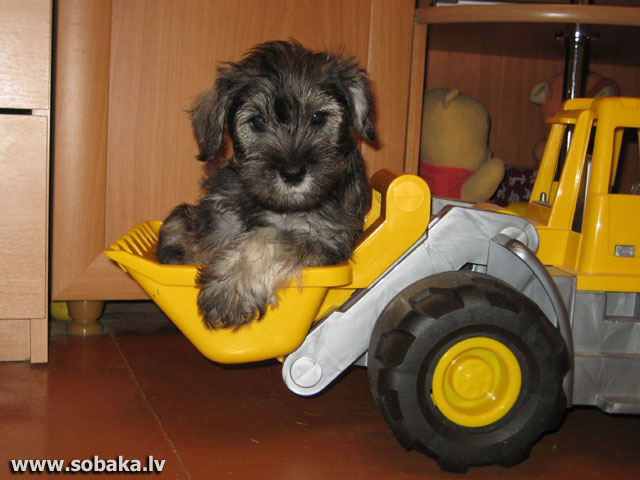 Щенки 21.01.2009 г. рождения. «Розовая» девочка. 