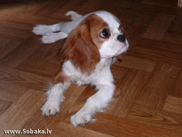 Cavalier King Charles Spaniel 