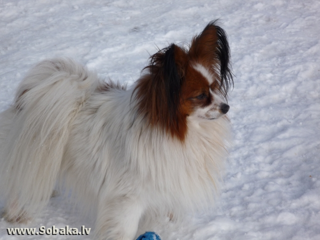 Continental Toy Spaniel (Papillon & Phalene) 