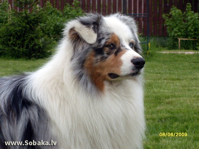 Australian Shepherd 