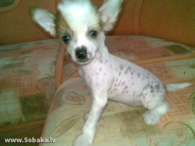 Щенок-девочка. 