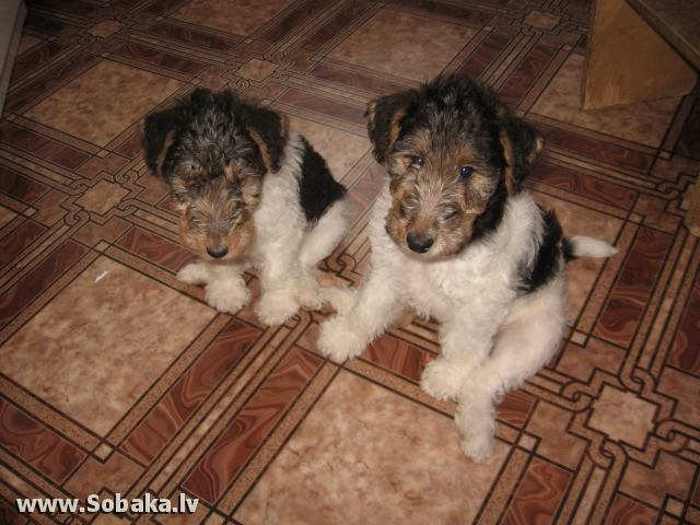 Fox Terrier - Wire 