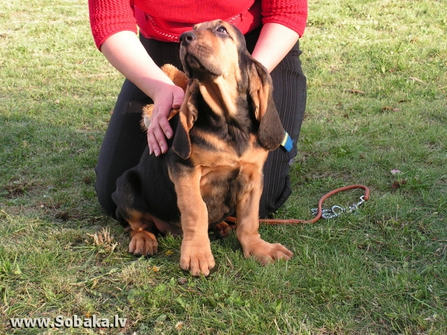Bloodhound 