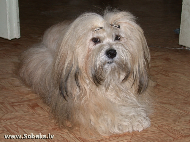 Lhasa Apso 