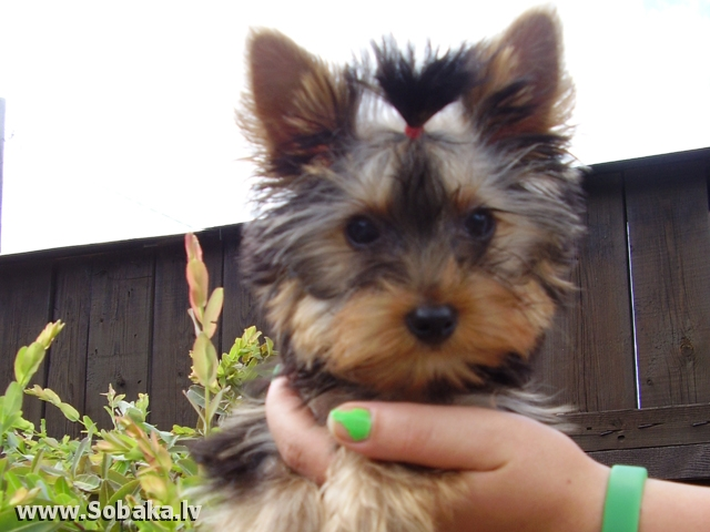 Yorkshire Terrier 