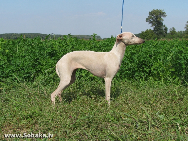 Italian Greyhound 