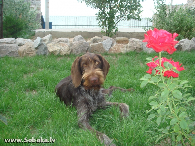 German Wire-haired Pointing Dog 