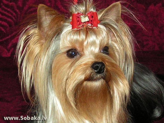 york terrier mini
