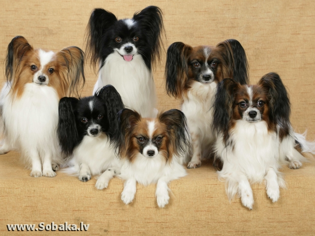 Папийоносемья. 
