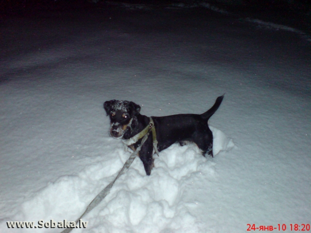 German Hunting Terrier 