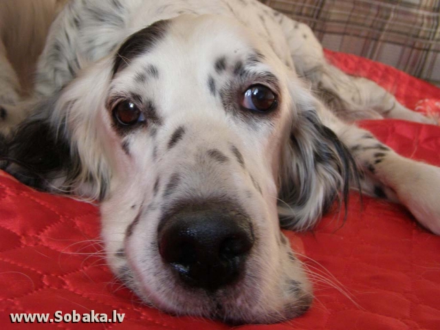 English Setter 