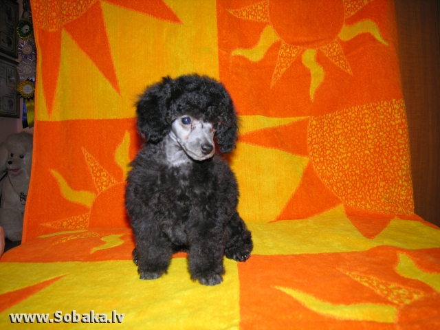 Щенок той пуделя. 
