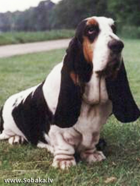 Basset Hound The Third Kind Jubilee