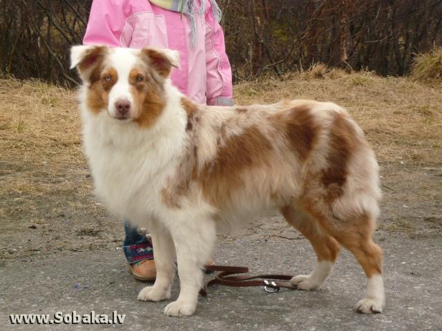 Australian Shepherd Тина (Ballantine's Puella Fera) Owner: Зимовская, Russia Author - Зимовская