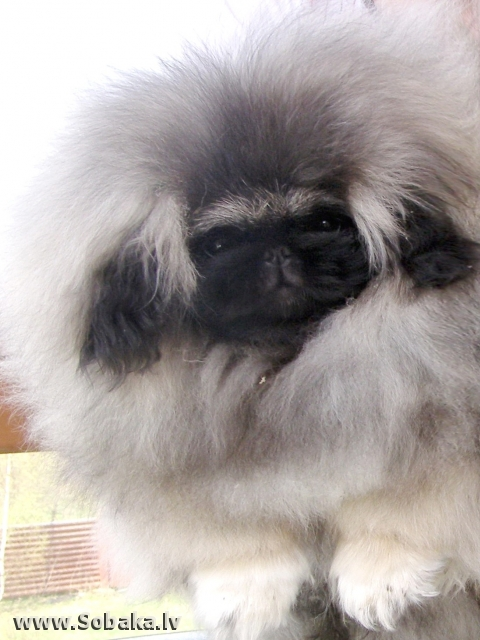 Наш щенок пекинеса. 