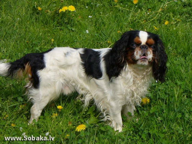 King Charles Spaniel 