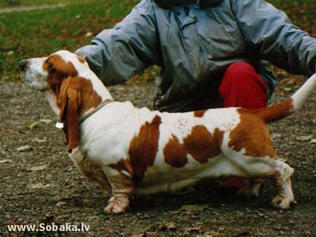 Basset Hound Cheerwood 's Longbody's Choice