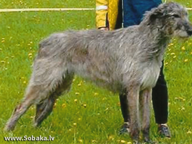 Irish Wolfhound FENORA DWARS' VALLEY