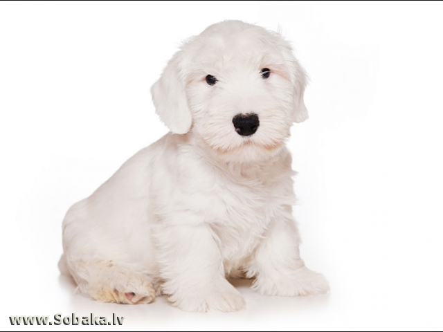 Белоснежный.. 