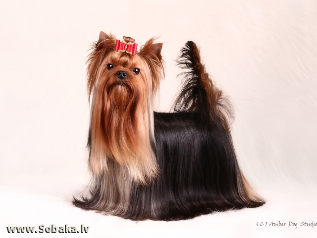 Тайгер. 