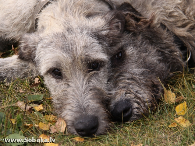 Irish Wolfhound Sassatown Big Ben