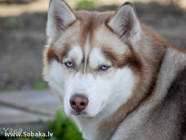 Siberian Husky 