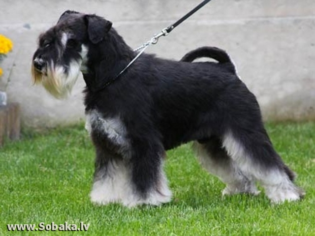Джоки. 