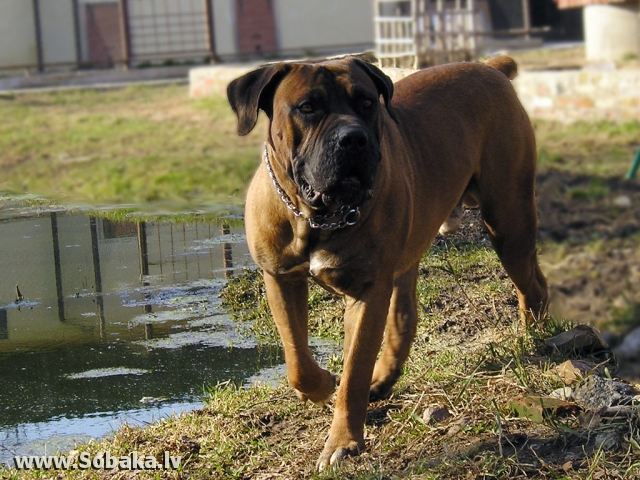 South African Boerboel 