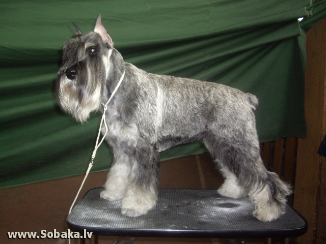 Schnauzer 