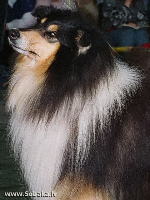 Collie Rough Lynaire Midnight Traveller
