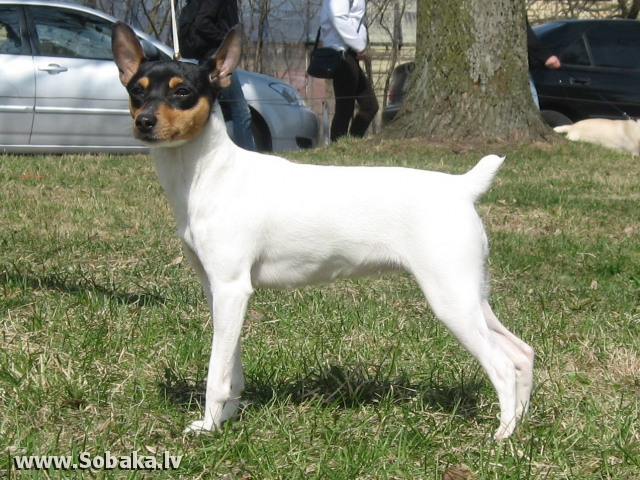 American Toy Fox Terrier (American Toy Fox Terrier)