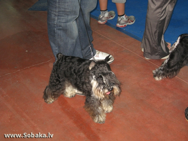 Miniature Schnauzer Made In Spain Ene
