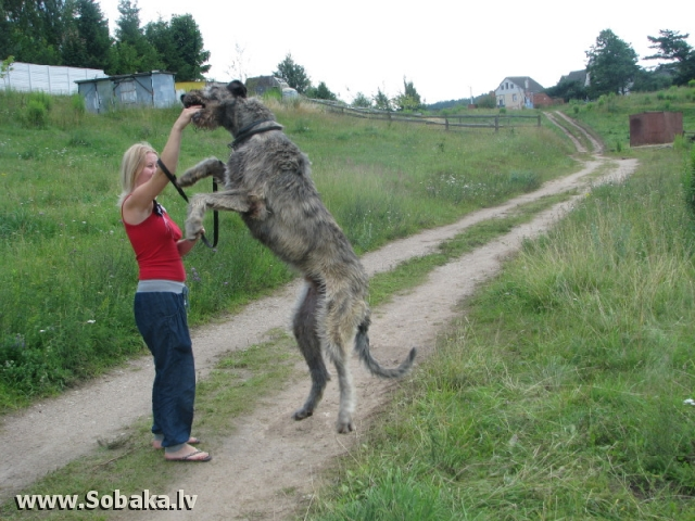 siberian wolfhound Gallery