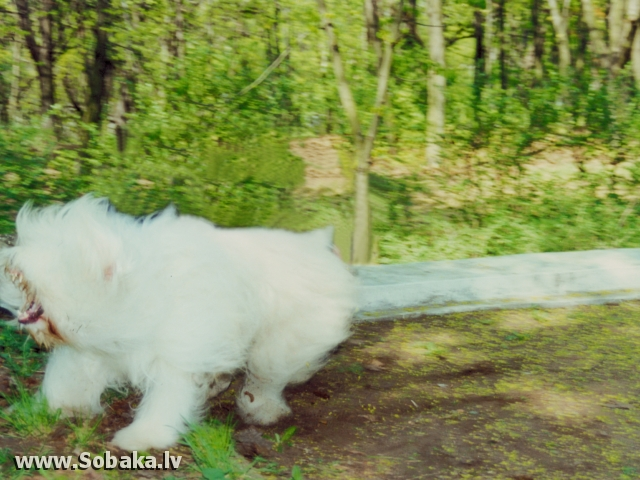 South Russian Shepherd Dog 