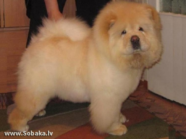 Чау. 
