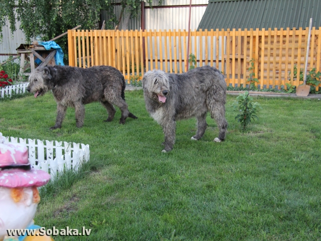 Irish Wolfhound Fairplay Vom Elsengrund
